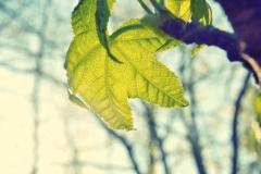 blur-green-leaf- oakseed