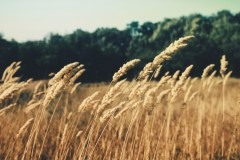 agriculture-cereals-field-wheat 621-825x550