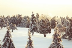 nature-snow-trees-2414-825x550 christmas trees