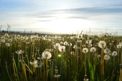 dandelion-meadow-puffball-3331-827x550